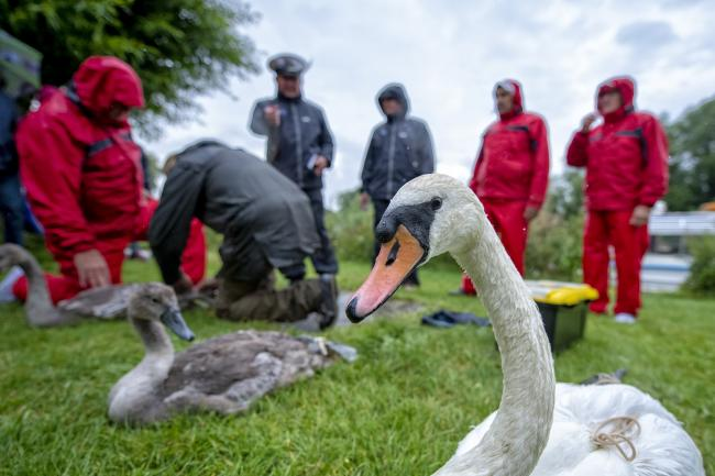 Swan Upping at Benson near Wallingford Picture Christian Sinkinson at More Than Images