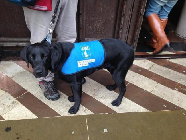 A guide dog in training