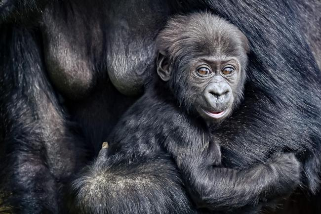 The baby gorilla