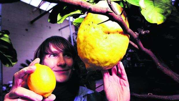 thisisoxfordshire: A lemon tree to beat them all