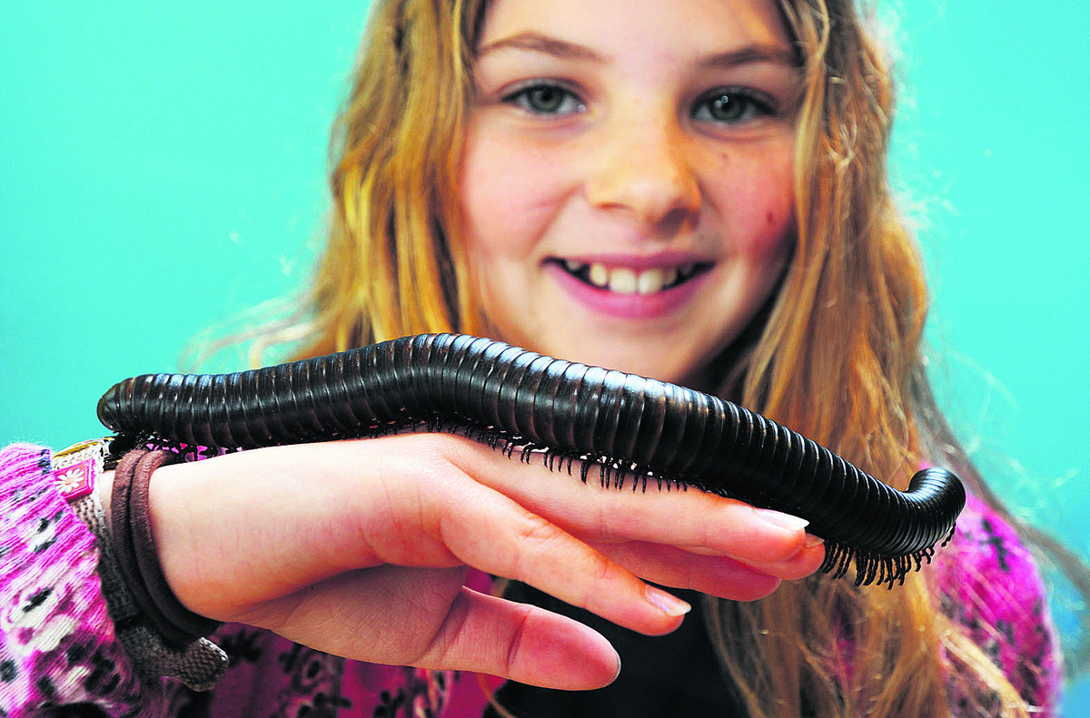 Fern Chalmers, aged nine, gets up close with a giant millipede