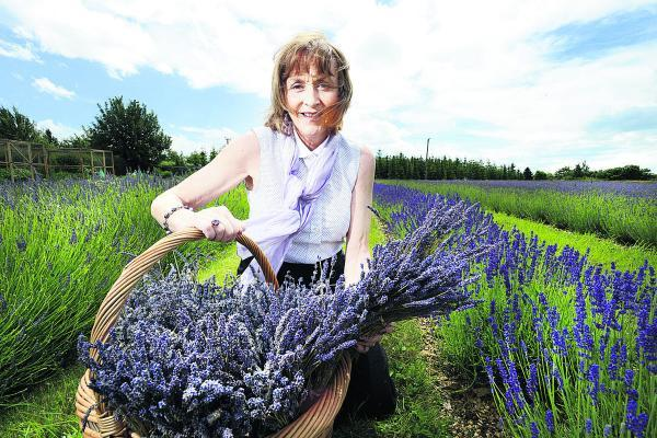 thisisoxfordshire: Julie Ross at the lavender plantation on Jacobs Field, Islip. Picture: OX68424 Richard Cave