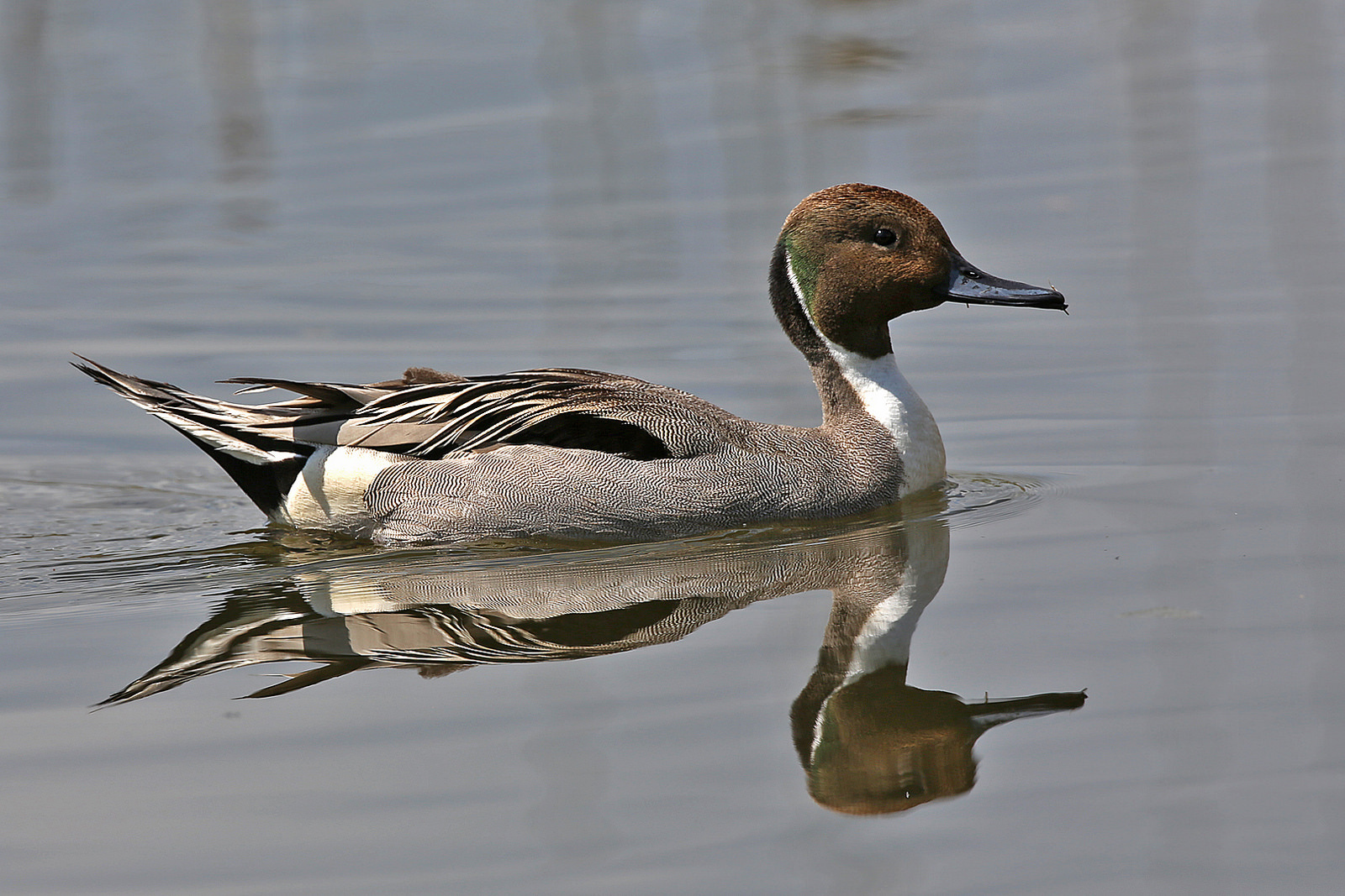 A pintail duck. Picture: Margaret Holland.