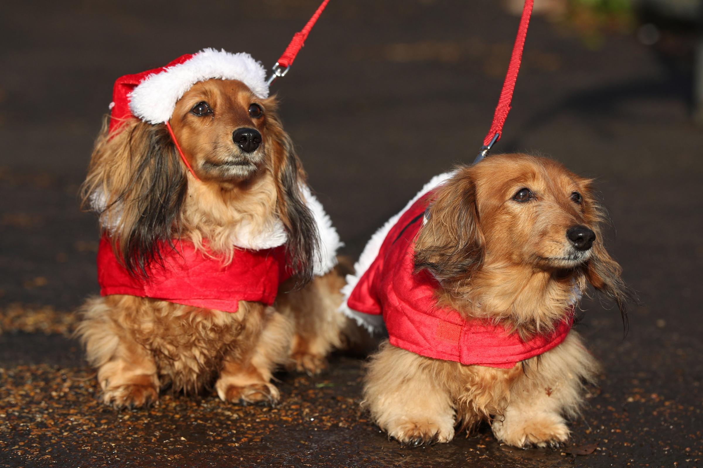 Dachshunds Sabrina, left, and Lola, right, take part in the festive walk