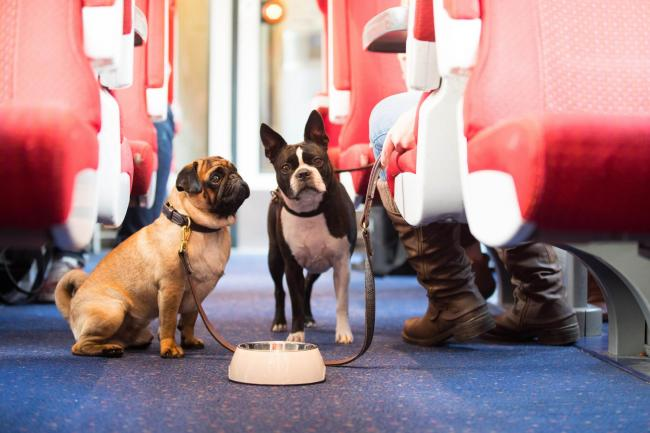 Butch Cassidy, a Pug, and Sacha, a Boston Terrier, travel by train