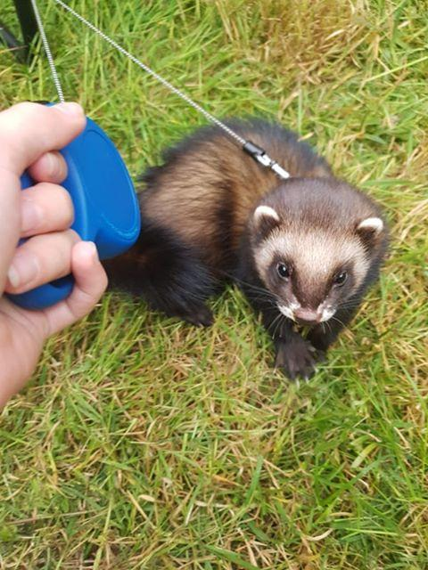 Snipas the ferret. Pic: Do Vis